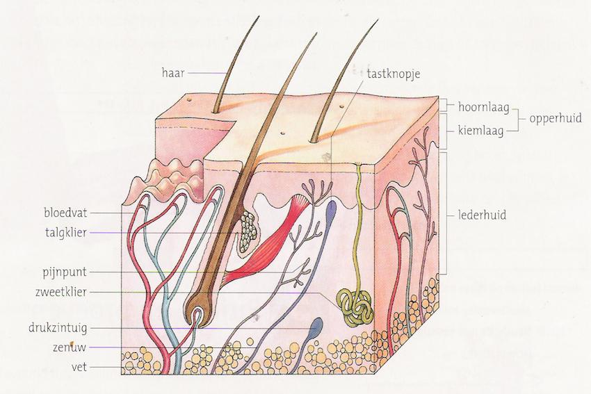 Aantomie huid