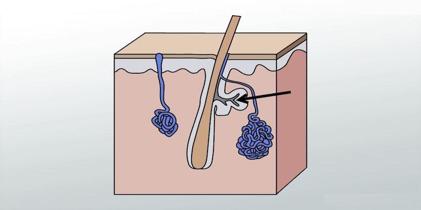 talgklieren huid vet